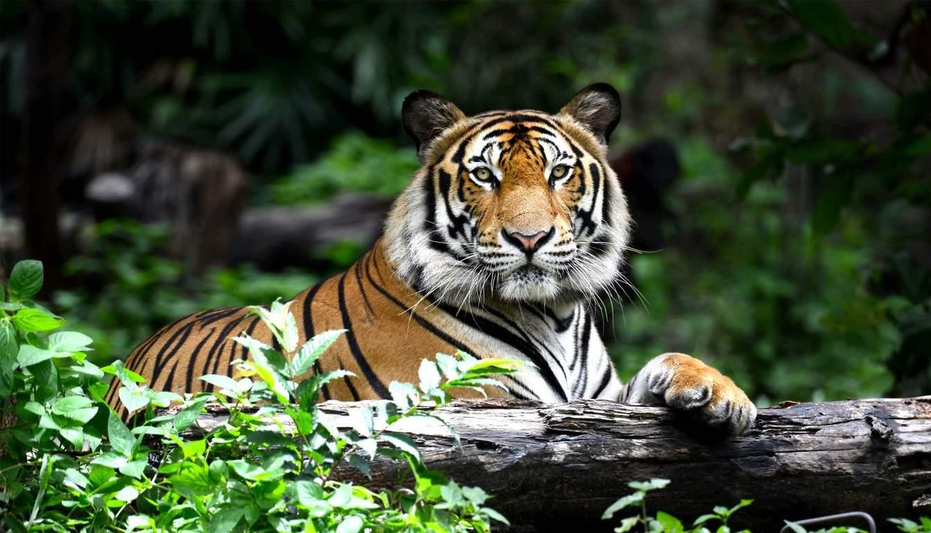спрашивала, картинки тигр в джунгли приготовления этого